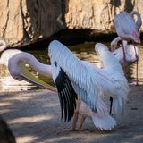 Pink Backed Pelicans and Flamingos at the Bioparc in Valencia Spain on February 26, 2019. VALENCIA, SPAIN - FEBRUARY 26 : Pink Backed Pelicans and Flamingos at stock images