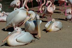 Pink Backed Pelicans and Flamingos at the Bioparc in Valencia Spain on February 26, 2019. VALENCIA, SPAIN - FEBRUARY 26 : Pink Backed Pelicans and Flamingos at royalty free stock photography