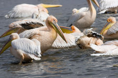 Pink-backed Pelicans at lake Nakuru. Stock Photography