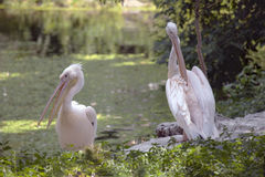Pink Backed Pelicans. Royalty Free Stock Image