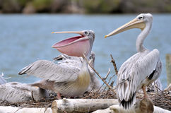 Pink-backed Pelicans Stock Image