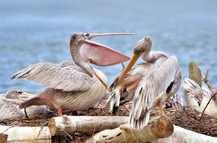 Pink-backed Pelicans Stock Photo