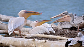 Pink-backed Pelicans Royalty Free Stock Photography