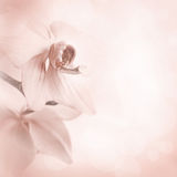 Pink background with orchid flowers Royalty Free Stock Photo