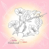 Pink background with pansies and bindweed Royalty Free Stock Photography