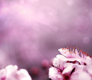 Pink background with plum tree flower blooms. Pink background with flower blooms and colorful bokeh Stock Images