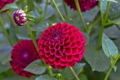 Pink 'Ball Dahlias' flower. The ball dahlia is characterized by double blooms that are ball shaped or slightly flattened Stock Images