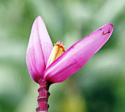 Pink Banana flower Royalty Free Stock Image