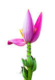 Pink Banana flower Stock Photos