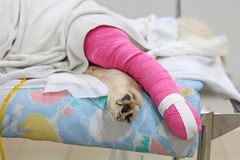 Pink bandage covering Golden retriever back leg Stock Photos