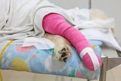 Pink bandage covering Golden retriever back leg stock photos