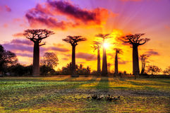 Pink Baobabs Stock Photography