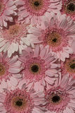 Pink Barberton Daisies Stock Photos