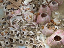Pink Barnacles Stock Photography