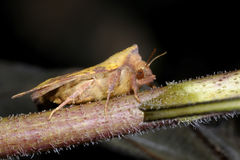 Pink-barred sallow, xanthia togata. On the plant Stock Photography
