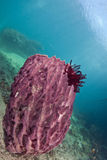Pink barrel sponge in blue water. Royalty Free Stock Photos