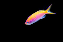 Pink Bartlett`s Anthias with black background royalty free stock photo