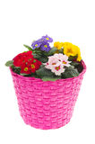 Pink basket with colorful Primroses Stock Photography
