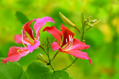 Pink bauhinia blakeana flowers Royalty Free Stock Photos