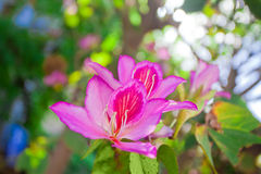 Pink Bauhinia orchid Royalty Free Stock Photos