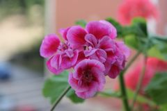Pink beatiful flower in balcony. Blured stock photo