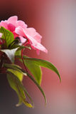 Pink and beautiful. Pink flower royalty free stock photos