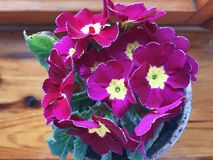 Pink beautiful cute primula flowers with yellow middle. stock images