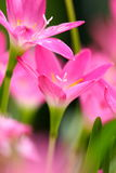 Pink beautiful Fairy lily in garden. Pink beautiful Fairy lily in garden Stock Photography