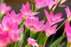 Pink beautiful Fairy lily in garden. Pink beautiful Fairy lily in garden Stock Photos