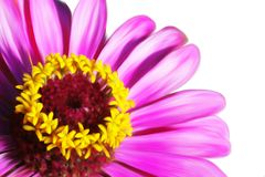 Pink beautiful flower closeup Royalty Free Stock Image