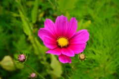 Pink Beautiful Flower Picture taken somewhere in Himachal. Pradesh. Lovely Weather royalty free stock photo