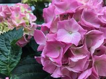 Pink beautiful hydrangea flowers, close up. royalty free stock photography