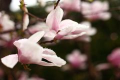 Magnolia flowers on a branch in early spring royalty free stock photos