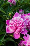 Pink beautiful peonies blooming, spring background royalty free stock photography