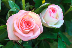 Pink beautiful rose growing in the garden Stock Photography