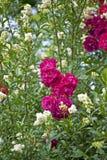 Pink beautiful roses. On top of a bush Stock Photos