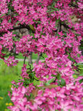 Pink beautiful tree flowers paradise apple tree on a background Stock Images