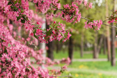 Pink beautiful tree flowers paradise apple tree on a background Royalty Free Stock Photography