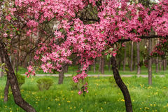 Pink beautiful tree flowers paradise apple tree on a background Stock Image