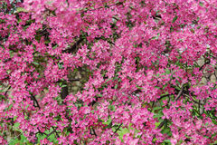 Pink beautiful tree flowers paradise apple tree on a background Royalty Free Stock Photos