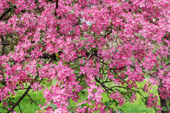Pink beautiful tree flowers paradise apple tree on a background Royalty Free Stock Image