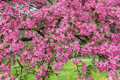 Pink beautiful tree flowers paradise apple tree on a background Stock Photos