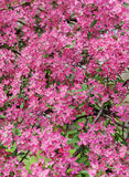 Pink beautiful tree flowers paradise apple tree on a background Stock Photography