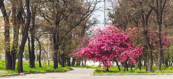 Pink beautiful tree flowers paradise apple tree on a background Royalty Free Stock Images
