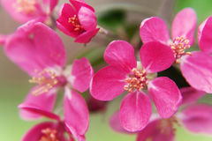 Pink beautiful tree flowers paradise apple tree close-up in a ge Royalty Free Stock Image