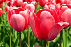 Pink beautiful tulips Stock Photo