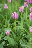 Pink beautiful tulips Stock Images