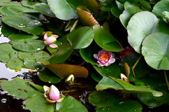 Pink beautiful water lily flower in green pond under the sun Stock Photos