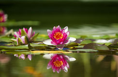Pink beautiful waterlily Royalty Free Stock Photos