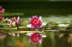 Pink beautiful waterlily Royalty Free Stock Photos